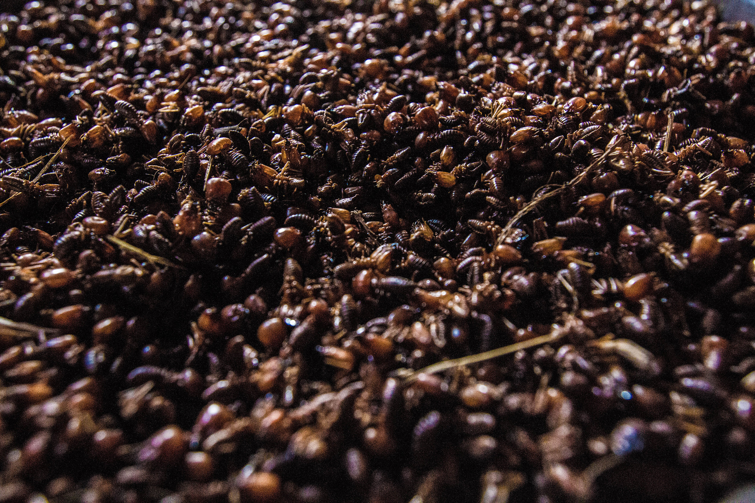 pedro bayeux tribe ants as snacks during the game.jpg