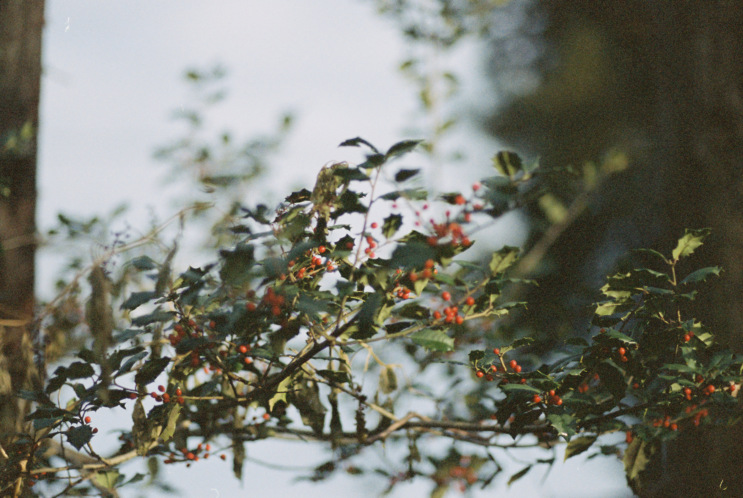 fall-2016 holly and berries.jpg
