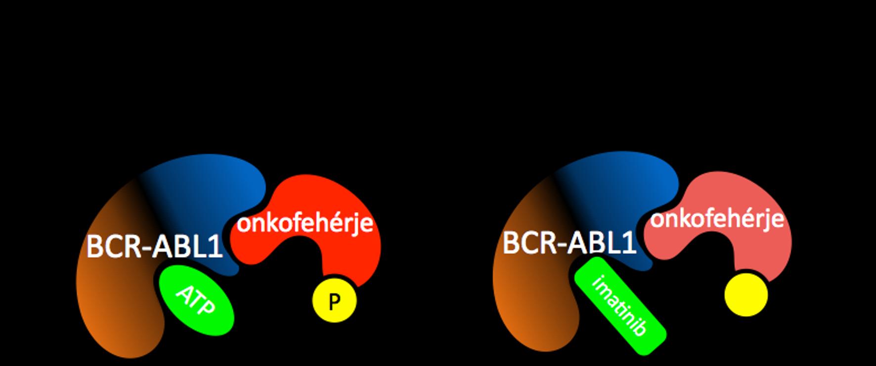 A TKI gyógyszerek a a BCR-ABL1 daganatfehérjéhez kötődve gátolják annak működését, így a leukémiás sejtek működése is gátlódik, ennek következtében a betegség visszaszorul.