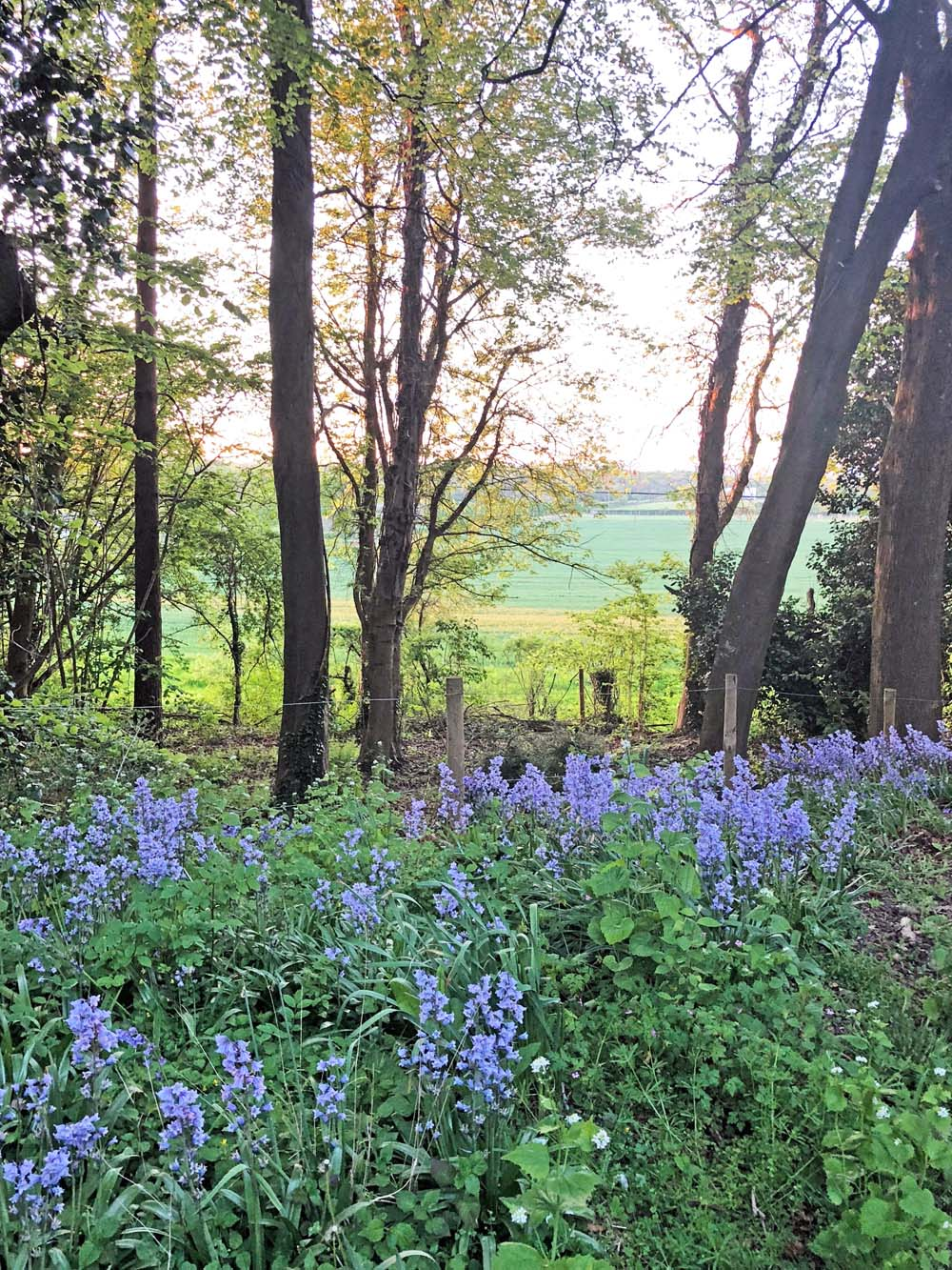 Bluebells at Bluebell