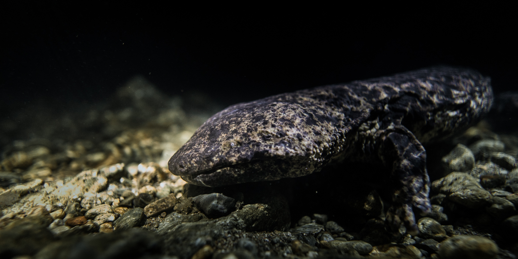A wild Japanese Giant Salamander in Hyogo Prefecture - Photo by Kyle Wullschleger