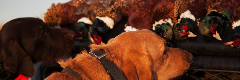 Sage and Braker Sniffing Pheasants