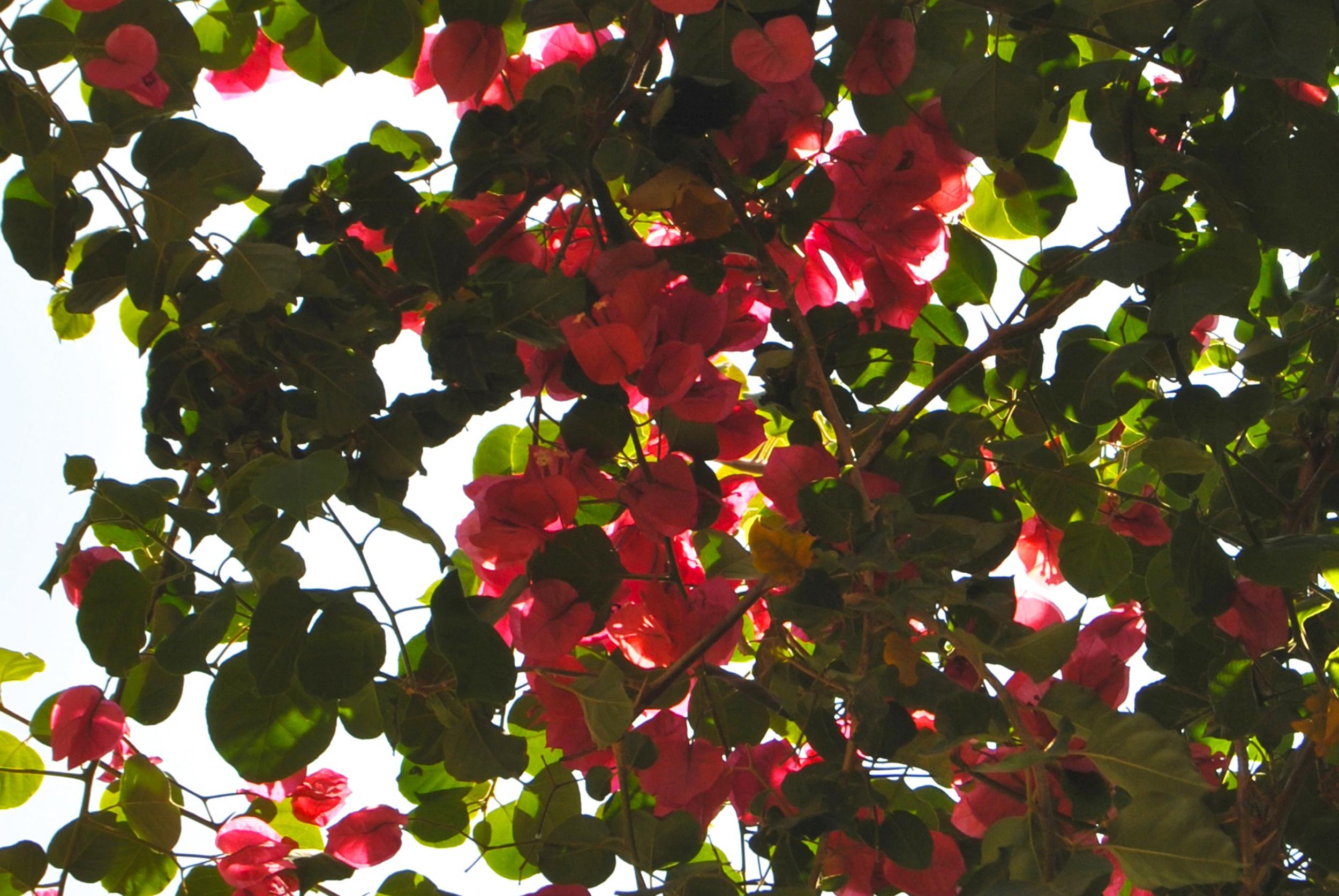 Sud-Est Apulia Salento PugliaNature Bougainvillea