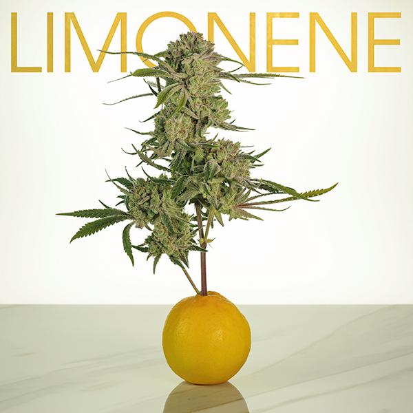 Lemon_Terps_Blog_2.jpg