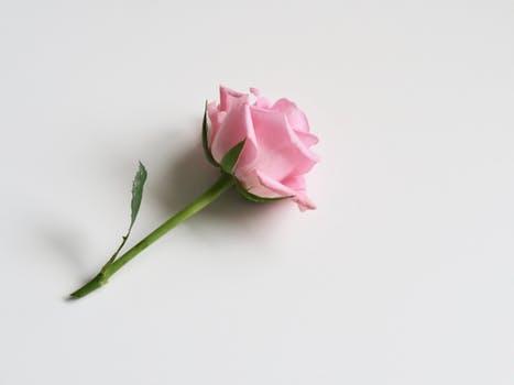 final rose.jpeg
