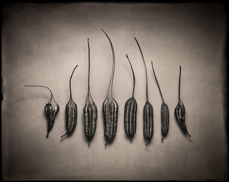 Aristolochia Pods - By:Paul Barden  https://www.flickr.com/photos/paulbarden/albums/72157681930450222