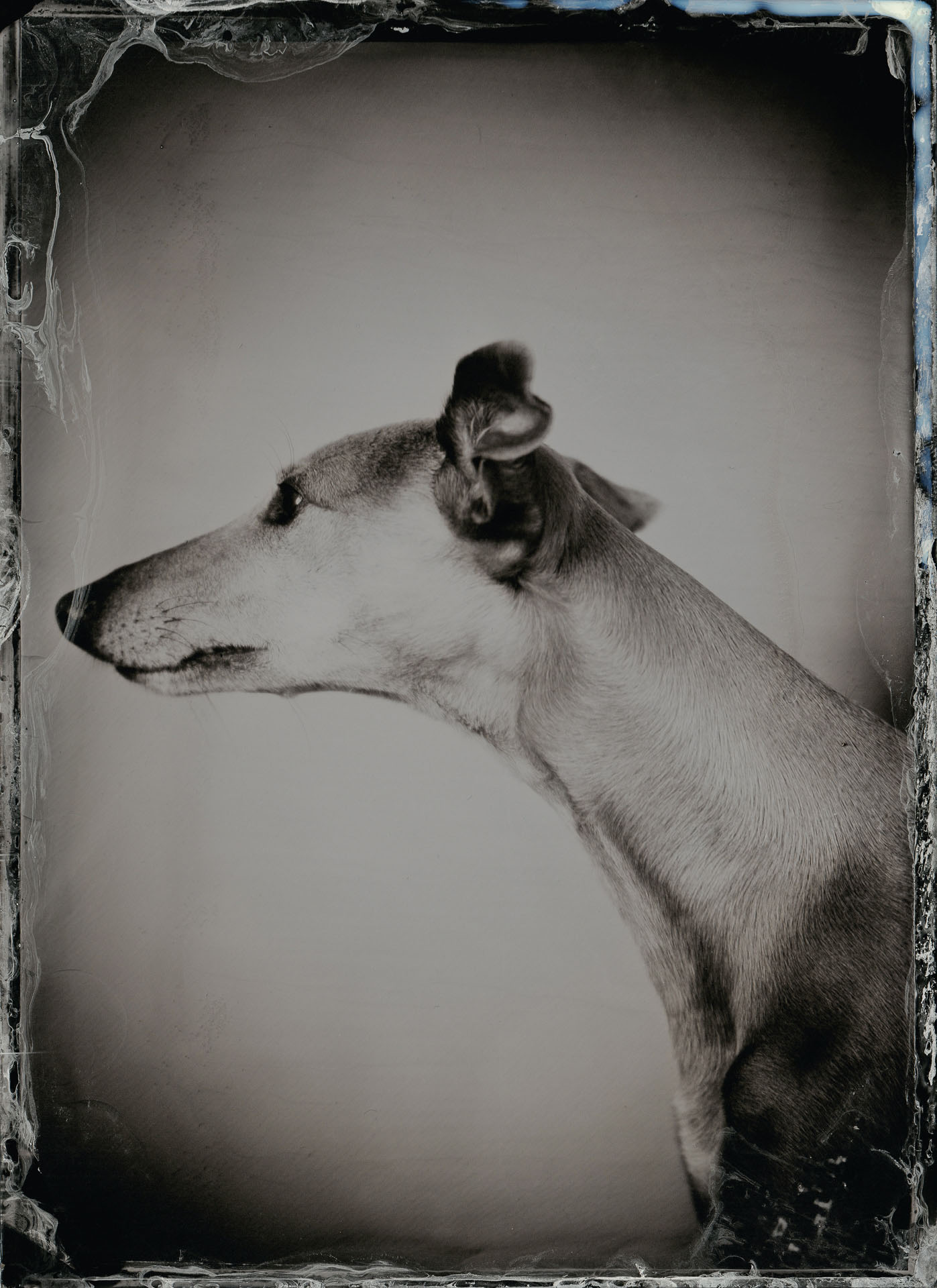 Olive (The Whippet) - By:Rikard Österlund  www.rikard.co.uk
