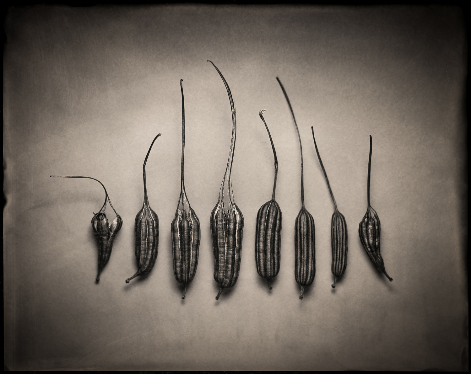 Aristolochia Pods - By: Paul Barden  https://www.flickr.com/photos/paulbarden/albums/72157681930450222   I've had a life-long fascination with plants of all kinds, and seed pod morphology is particularly fascinating to me. The Aristolochia elegans seed pods are a great example, with their matte black woody hulls. This is not the first time I have used these pods as the subject of a photograph, but this is the first time I have crafted a photo of them I consider to be nearly ideal in style and feel. Only the wet plate collodion process could deliver such a result.  This wet plate image was made in a makeshift studio at my house, simply arranging a selection of seed pods on a dark grey seamless paper backdrop, held on with masking tape. The scene was lit with a compact fluorescent softbox from above, with some reflector fill from below. The compact fluorescents provided enough light to let me expose this scene at f11, using a Schneider Symmar-S 240mm lens. The collodion used in this case was very well aged Old Workhorse.  I enjoy doing work on my 22 acre farm near Corvallis because I firmly believe that to do good creative work, you don't  need  to leave home and seek out extraordinary sites. Often, there are rich photographic opportunities in your own home if you are willing to see them, and that can be a challenge because familiarity can make you blind to visual treasures that any other photographer might pounce on with excitement.  I'm very excited to win the Intrepid Camera and the wet plate supplies!