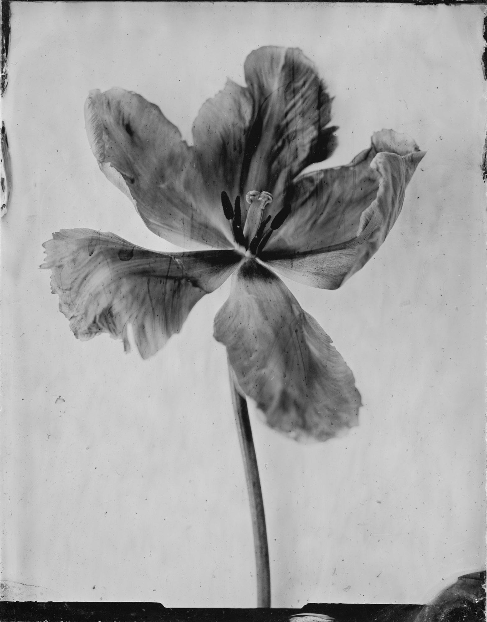 """Title : Tulip """"Libretto Parrot""""   By: Emilija Petrauskienė    www.epetrauskiene.lt"""