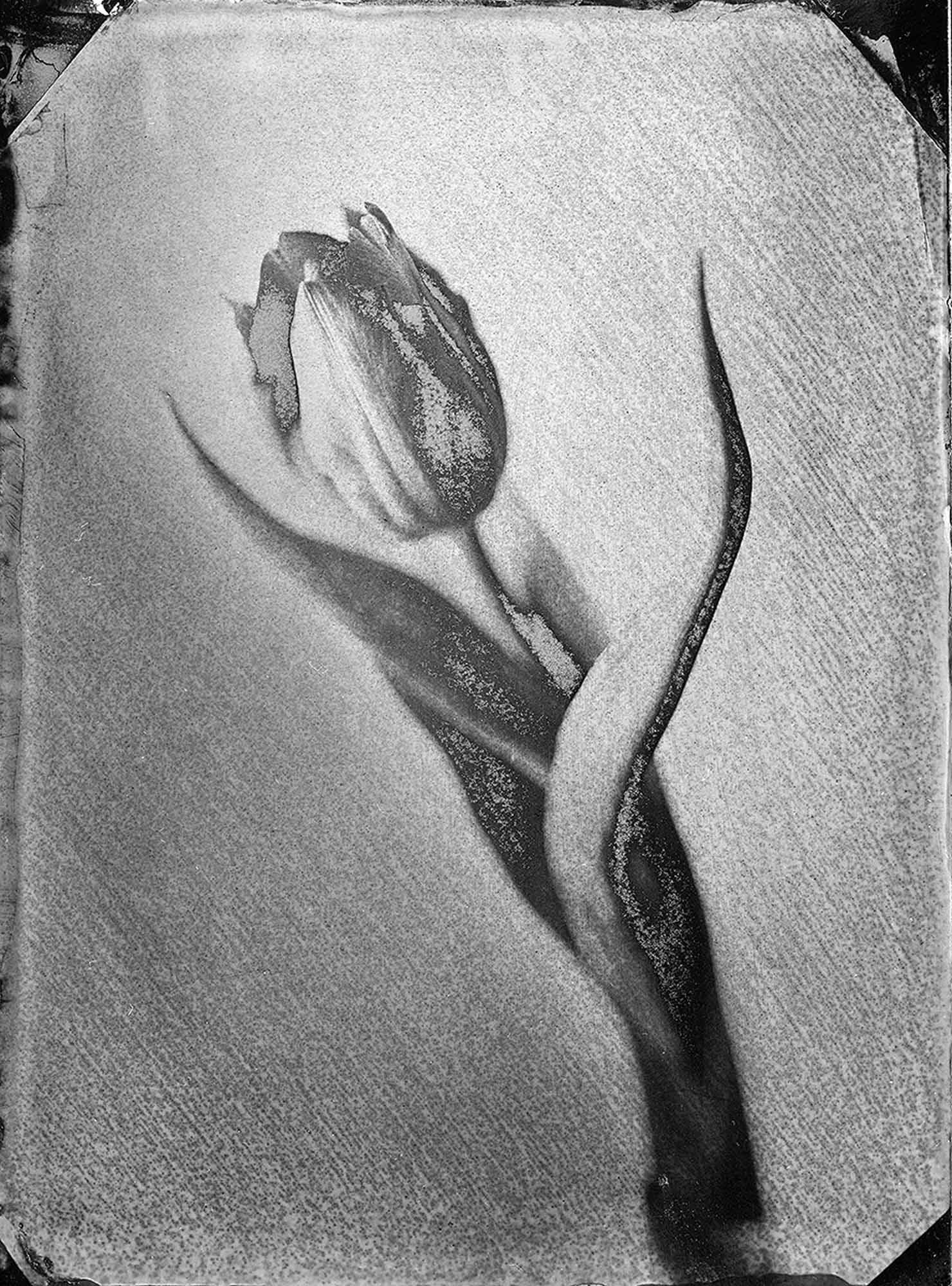 Title : Tulipe - solarized   By: Jean-Baptiste Rengeval    www.loeilsurlalune.fr