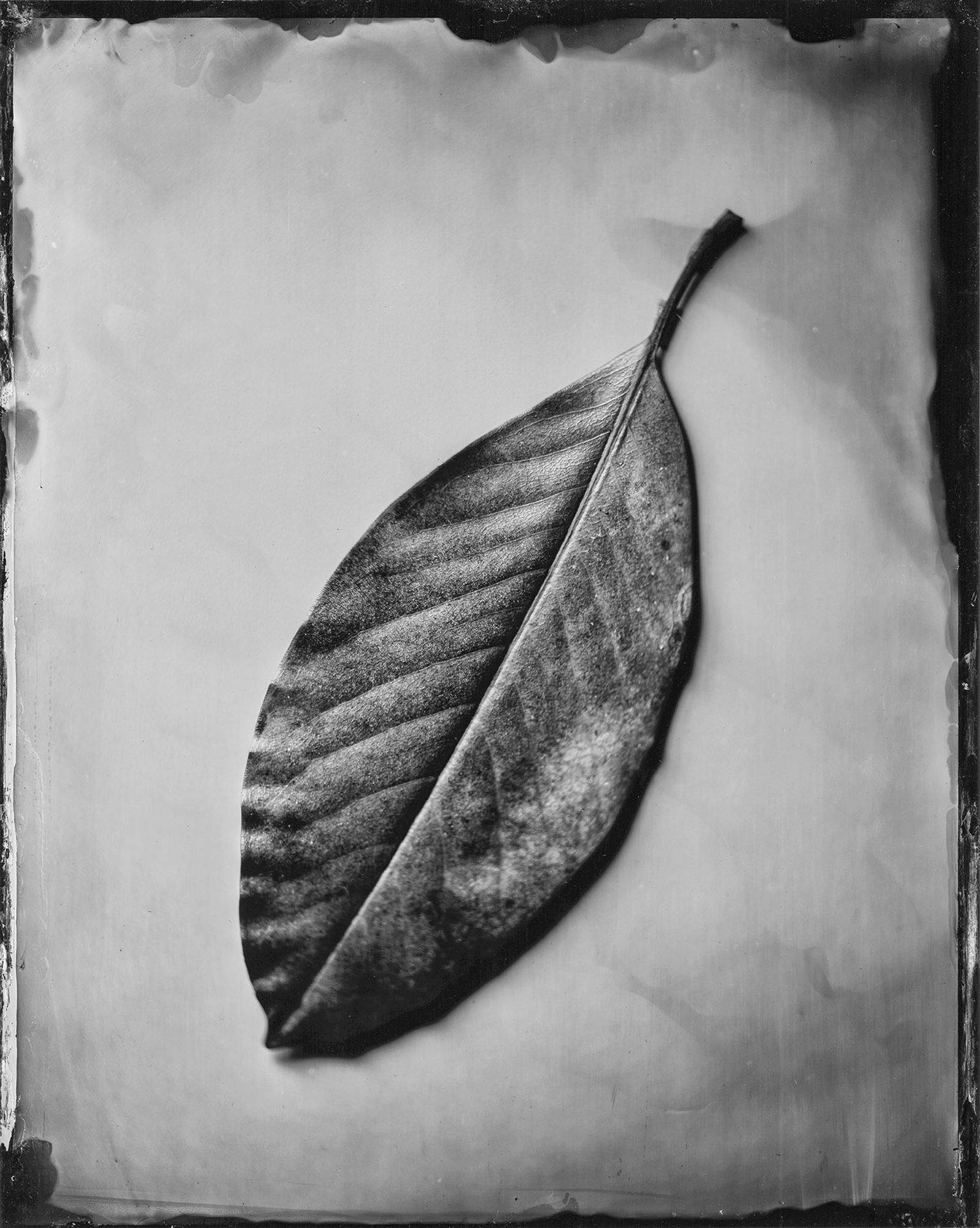 Magnolia Grandiflora Leaf 10.11.18 - By: Michael Marano