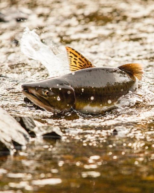 A wild salmon makes its way upstream. Photo by  David Moskowitz .