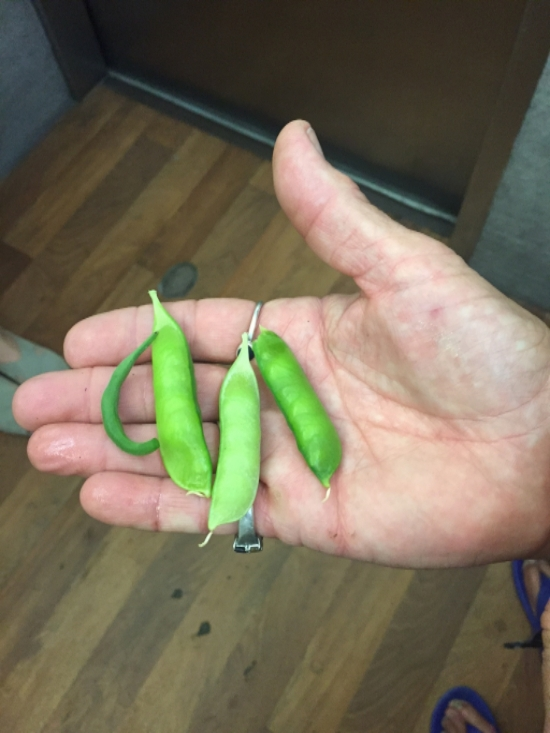 Margaret gives us a closeup of her home grown sugar snap peas.