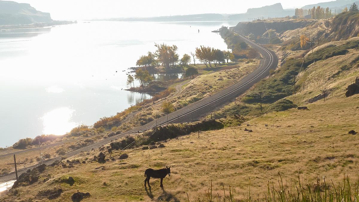 Lone burro, Columbia River