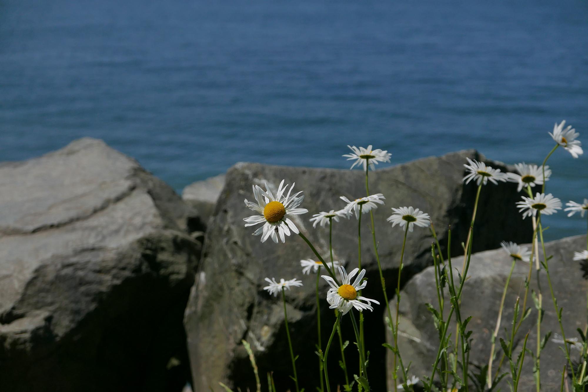 Puget Sound sea daisies