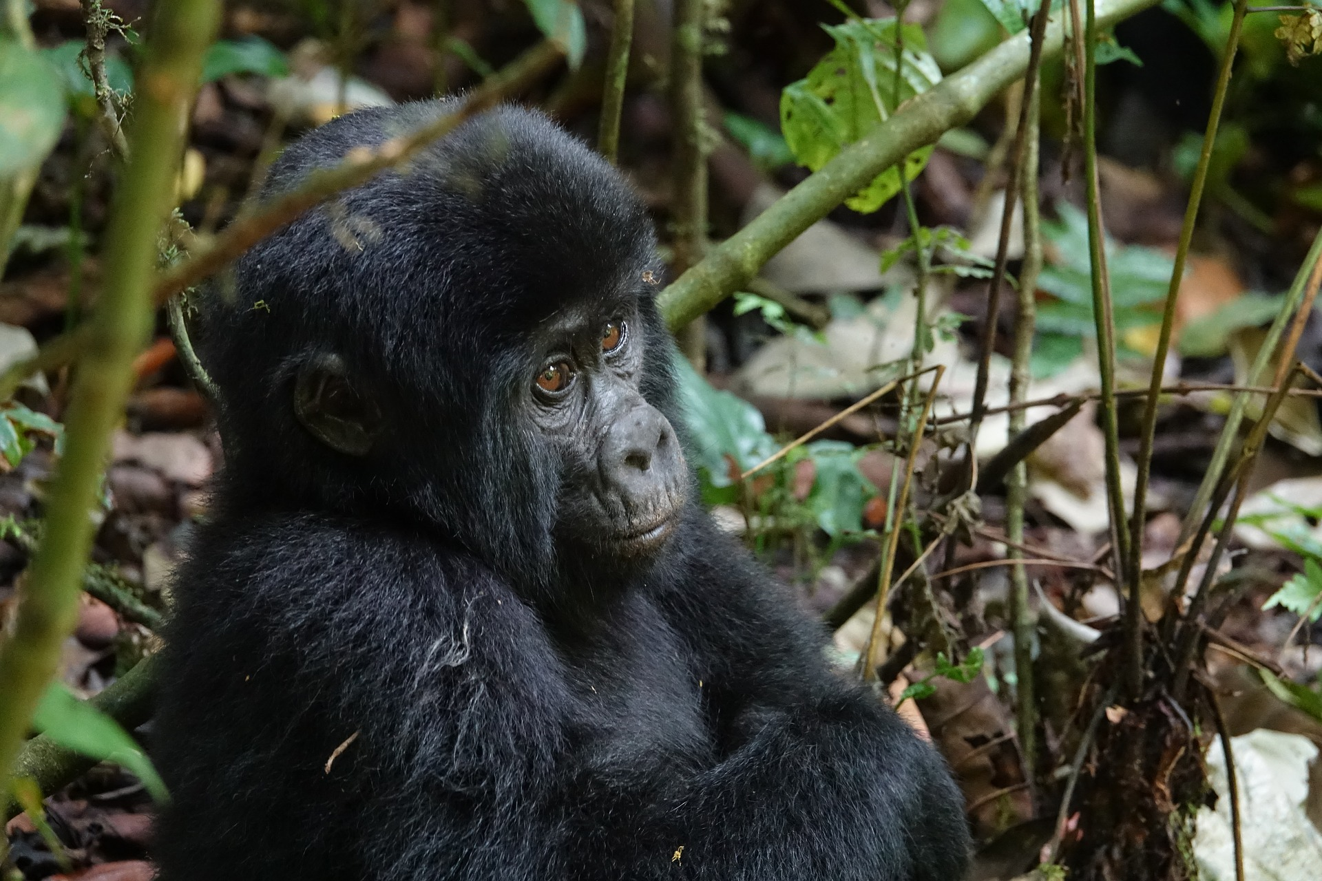 Young mountain gorilla in Bwindi Impenetrable Forest National Park