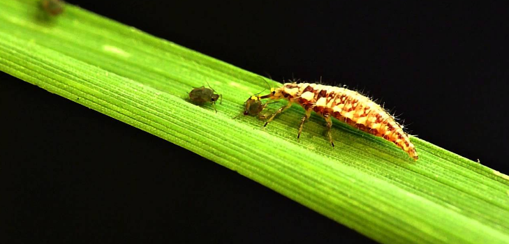 Lacewing fly larvae snacking on aphids.