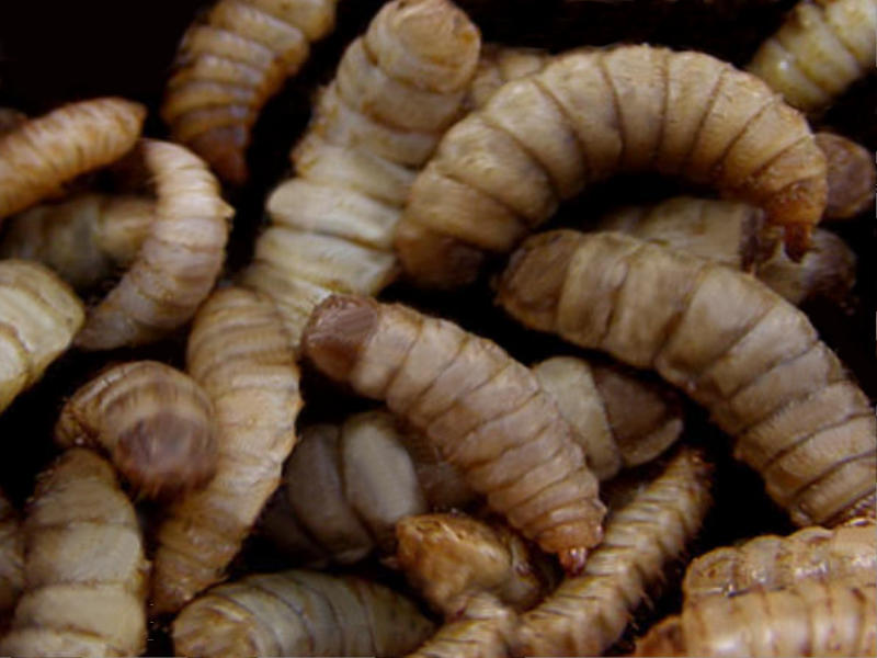 Fly larvae are fantastic decomposers.