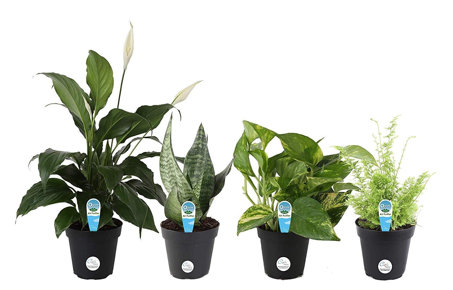 Costa Farms Clean Air 4 pack amazon