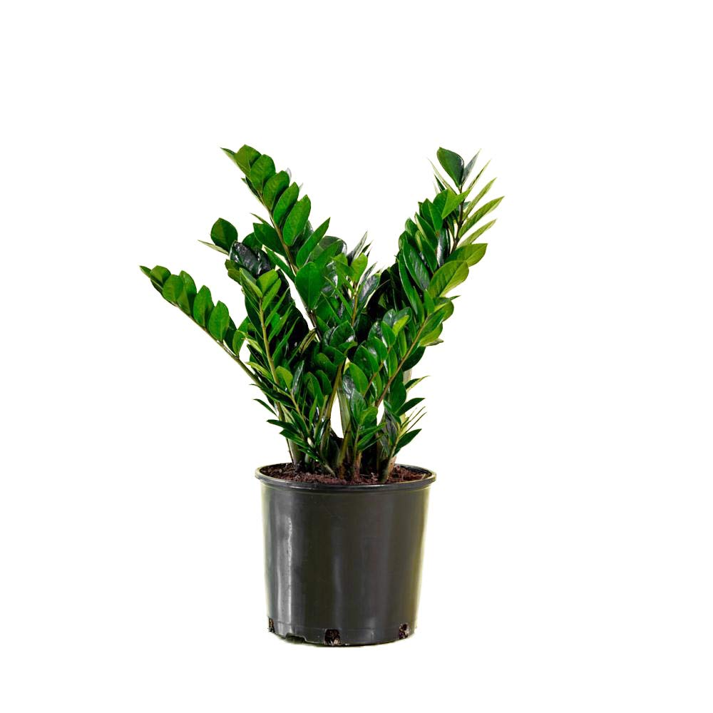 AMERICAN PLANT EXCHANGE ZZ Zanzibar Gem Live Plant 6 Inch Pot Air Purifier!