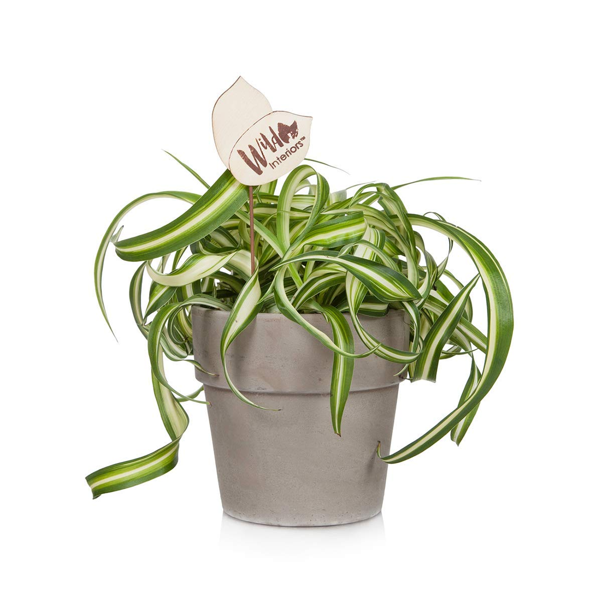 Wild Interiors 222798 Curly Spider Live Indoor Potted Plant Shelf Size
