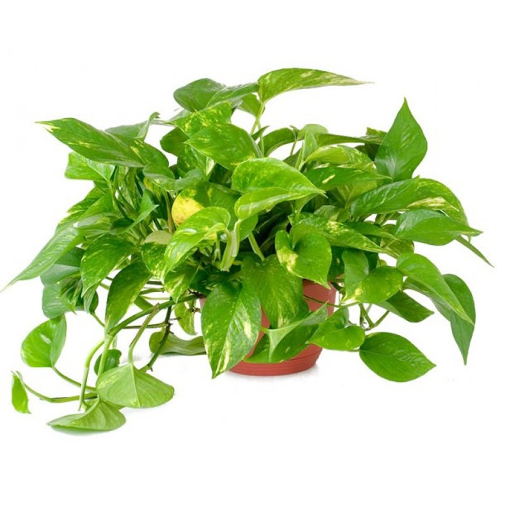 "AMERICAN PLANT EXCHANGE Golden Pothos Indoor/Outdoor Live Plant 6"" 1 Gallon Clean Air of Toxins!"