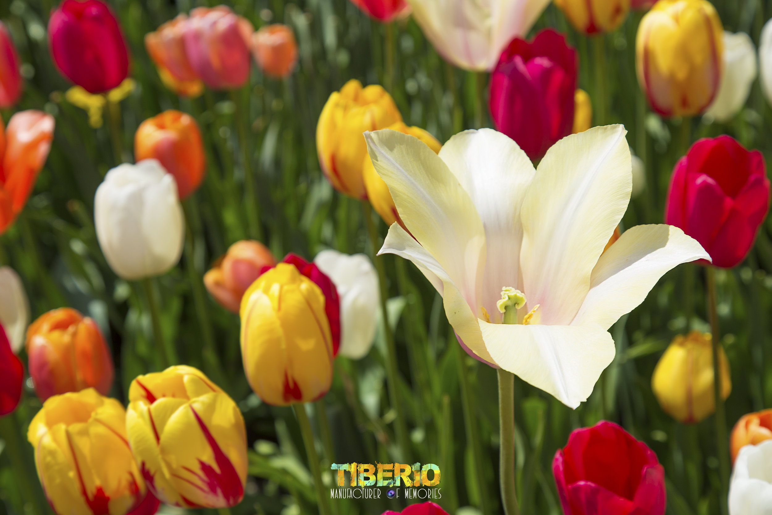 Tulip Festival 3.jpg