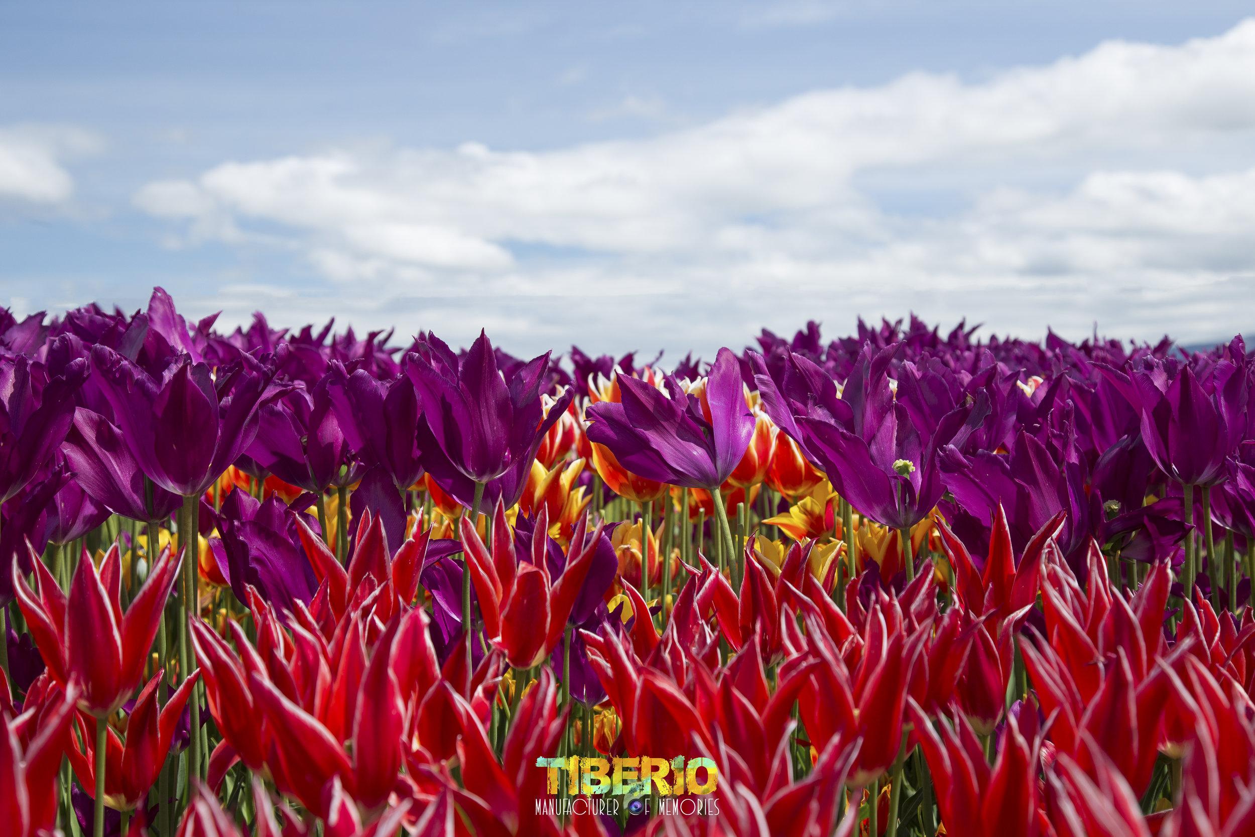 Tulip Festival 6.jpg