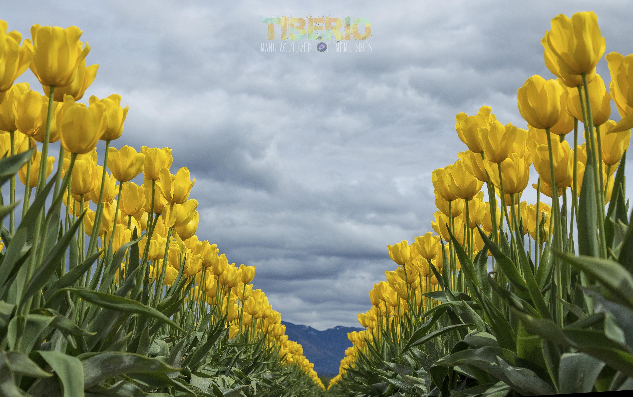 Tulip Festival 12.jpg