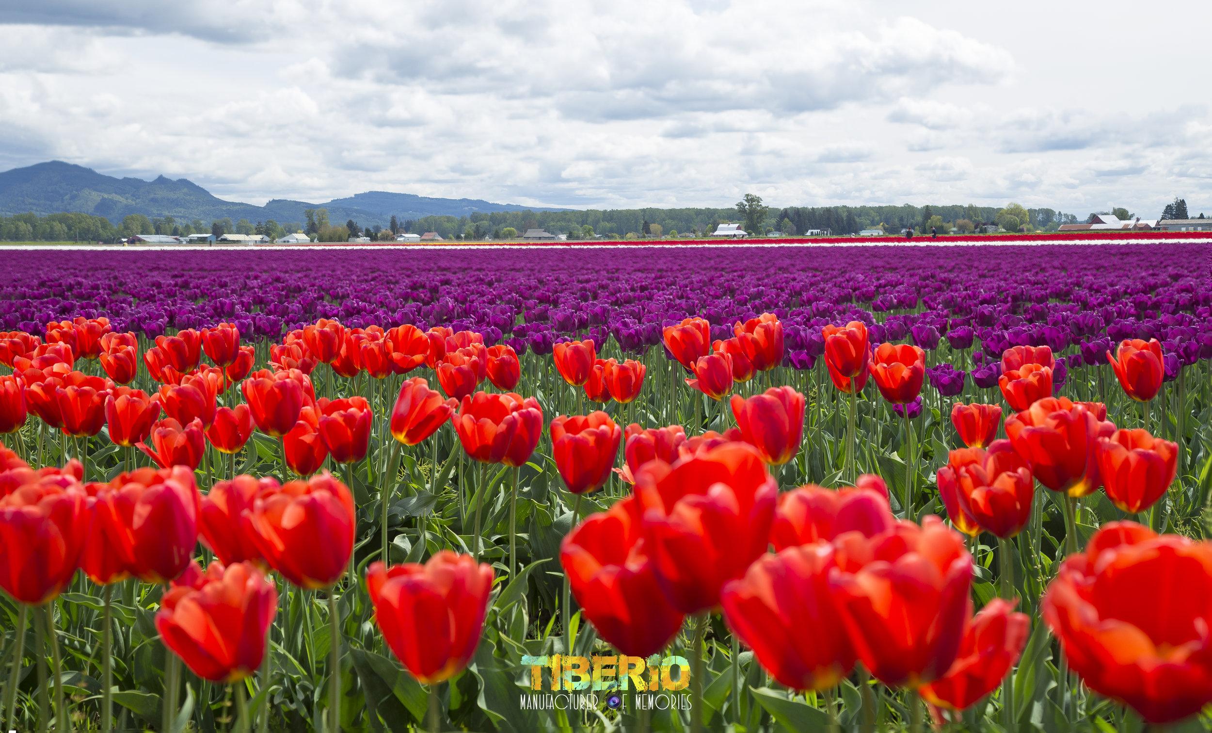 Tulip Festival 14.jpg