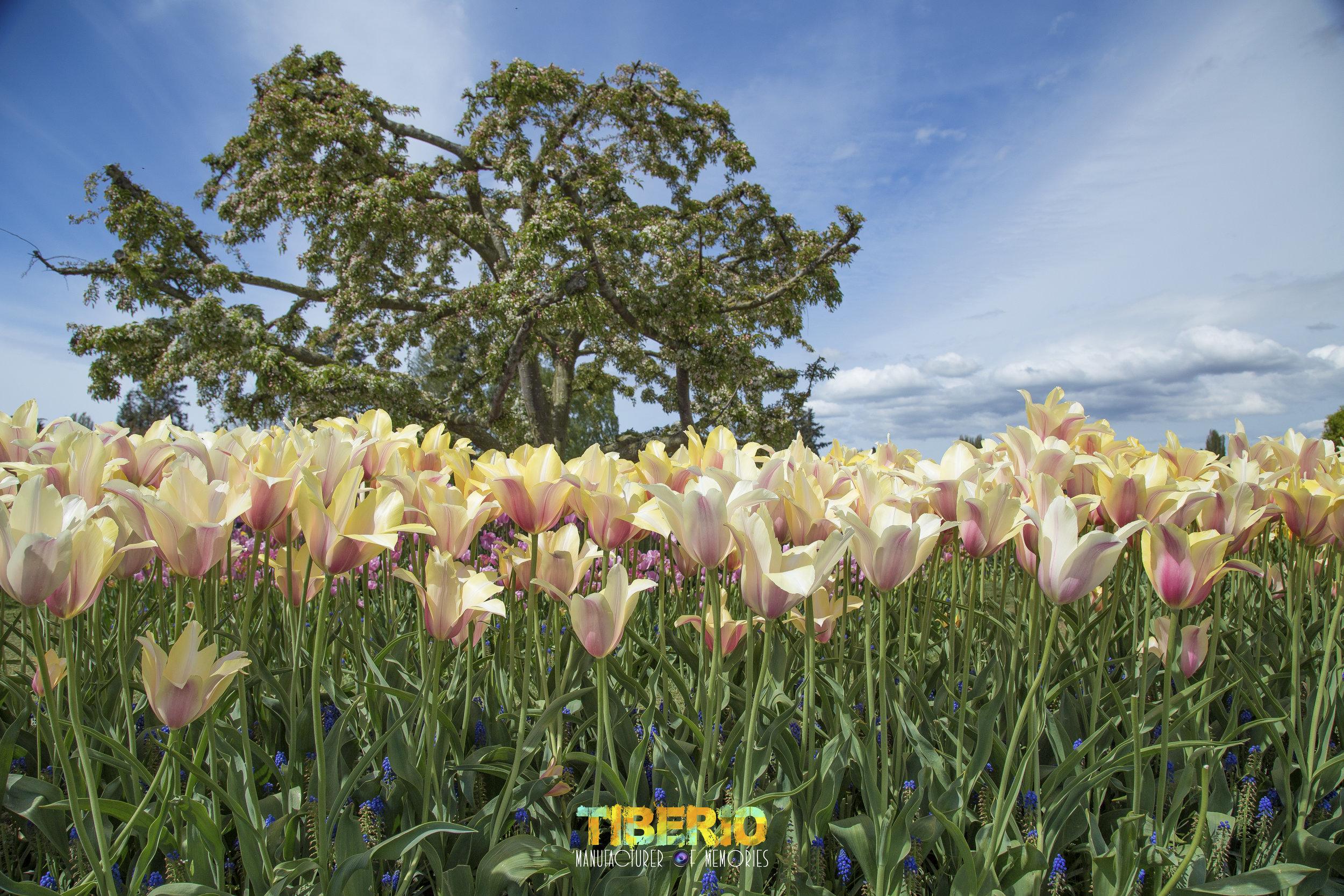 Tulip Festival 16.jpg