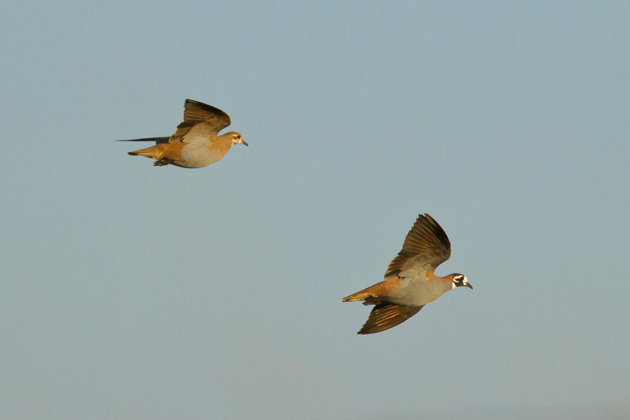 Flock Bronzewing_Roebuck Plains_Nigel Jackett.jpg