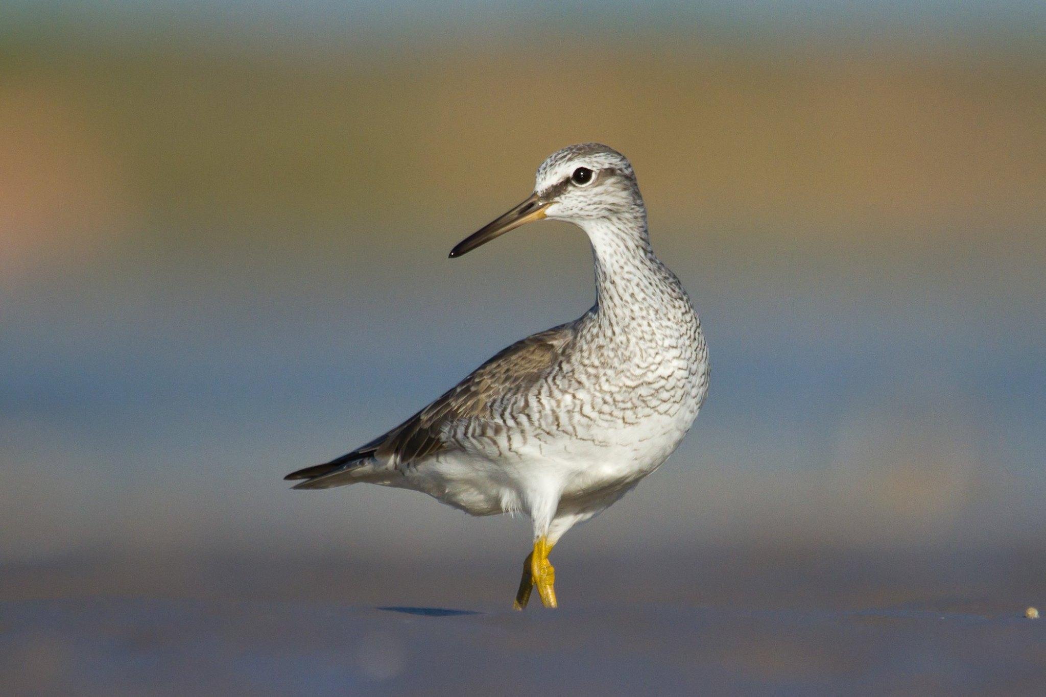 Grey-tailed Tattler_Roebuck Bay_Nigel Jackett.jpg