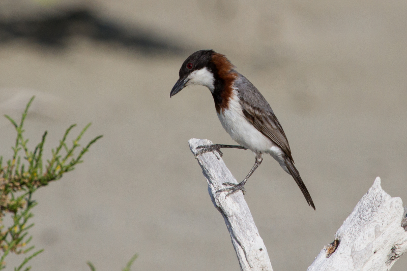 White-breasted Whistlers have powerful hooked bills for tackling crabs. They also take a wide range of other invertebrates and sometimes mudskippers. Photo: Ric Else 2014