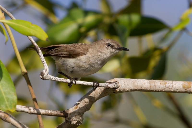 Dusky Gerygones are best located among dense mangroves by their distinctive song. Interestingly, although the similar Mangrove Gerygone also occurs in the Broome area, it is not usually found in the mangroves. Photo: Ric Else 2015