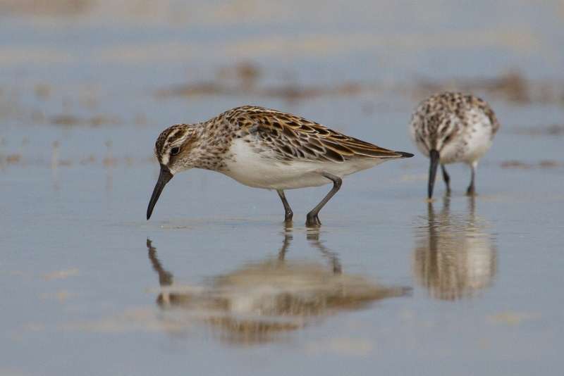 Broad-billed Sandpipers are only slightly larger than the much commoner Red-necked Stints, but can be picked out by their stripy heads and droopy-tipped bills. Photo: Ric Else 2014