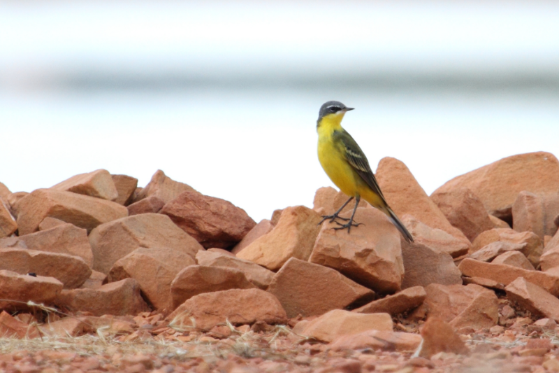 Yellow Wagtails are fairly common and easily located by their calls during the wet season. Most (including this one) are of the simillima subspecies, but taivana (Green-headed Yellow Wagtail) is sometimes also recorded. Photo: Ric Else 2014