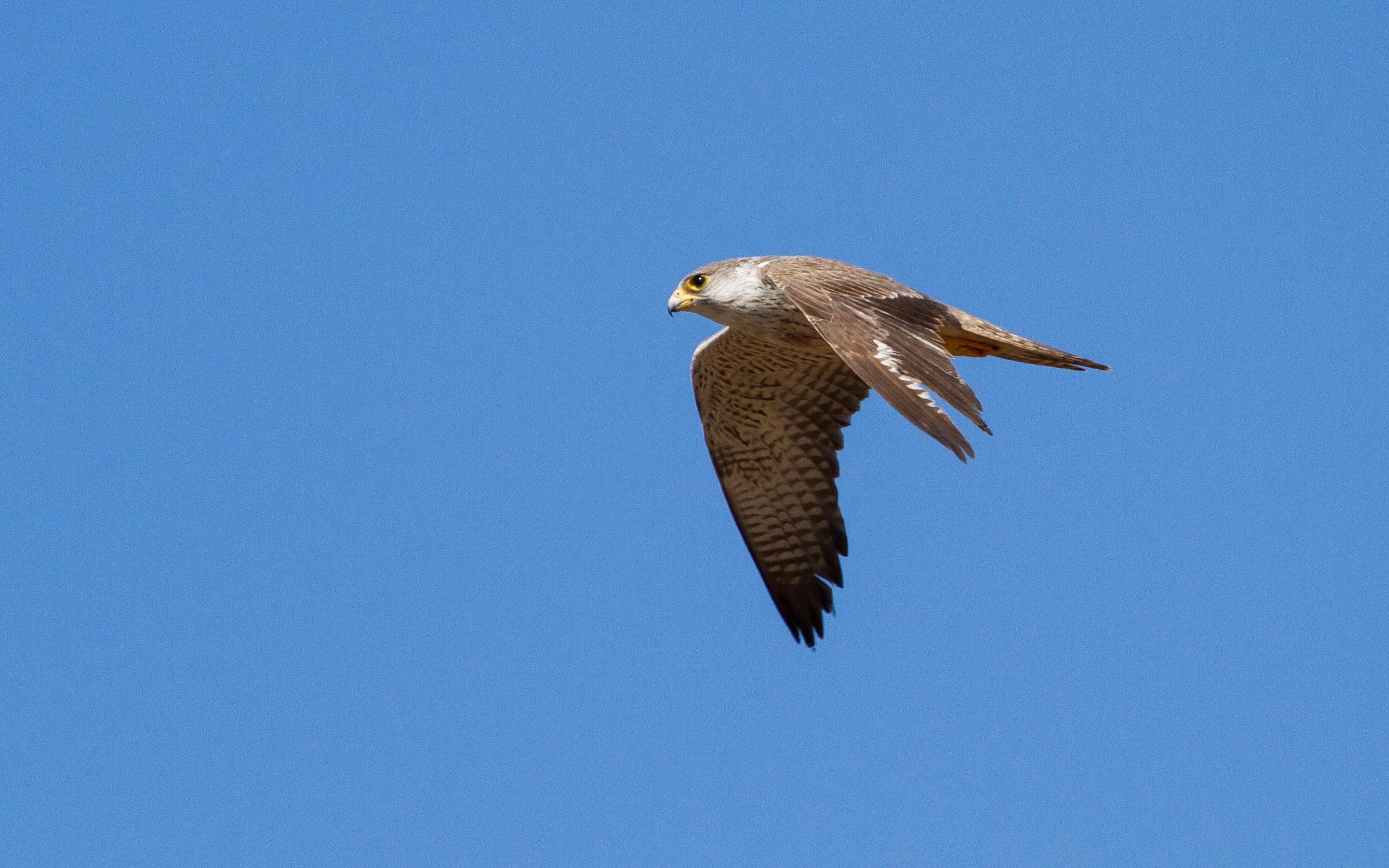 Grey Falcons are rare visitors to the Broome region, but two were seen in 2014. Image: © 2014 Ric Else