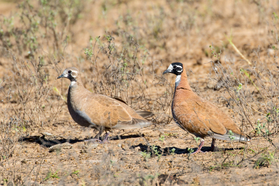 A close encounter with a pair of Flock Bronzewings at Taylors Lagoon. Photo: Athena Georgiou