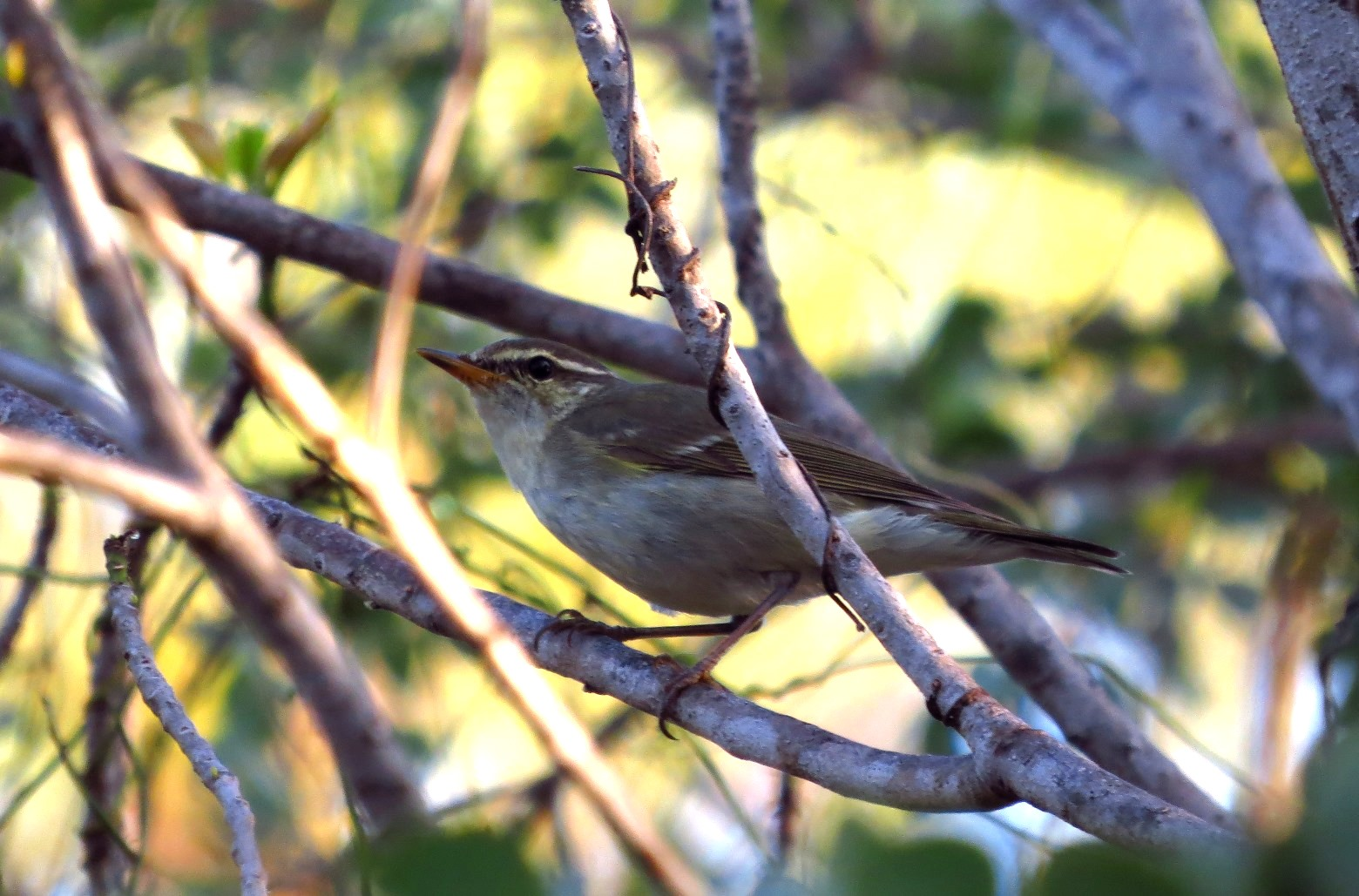 Chucky the Kamchatka Leaf Warbler. The first seen on the Australian mainland. Photo: John Graff