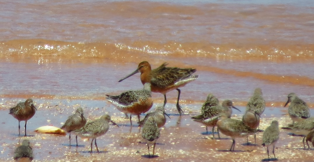 One of our local shorebird specialties - an Asian Dowitcher, in full-breeding plumage. Photo: John Graff