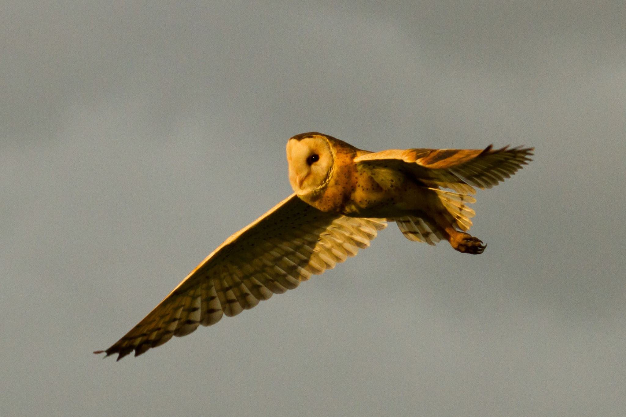 An Eastern Grass Owl takes flight in the late afternoon sun. Photo: Nigel Jackett