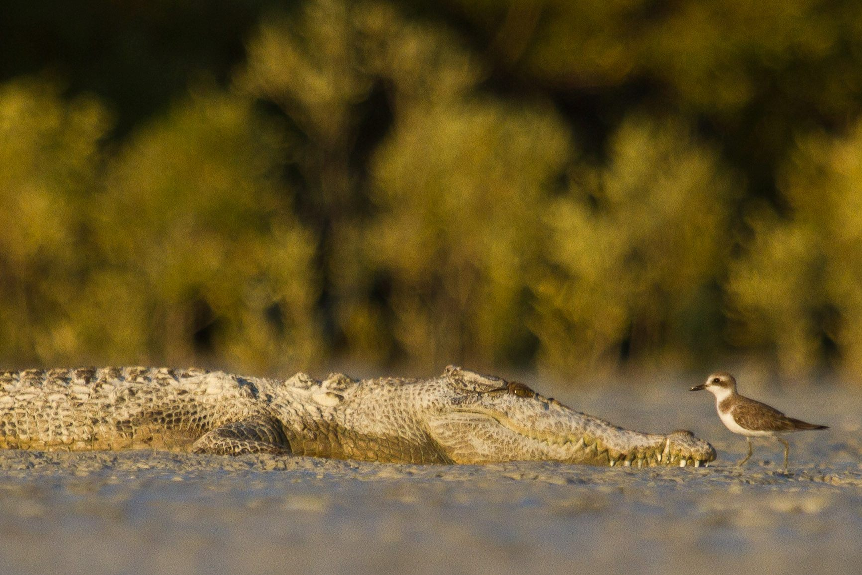 Although rarely seen, Estuarine Crocodiles (salties!) do occur in Roebuck Bay. Photo: Nigel Jackett