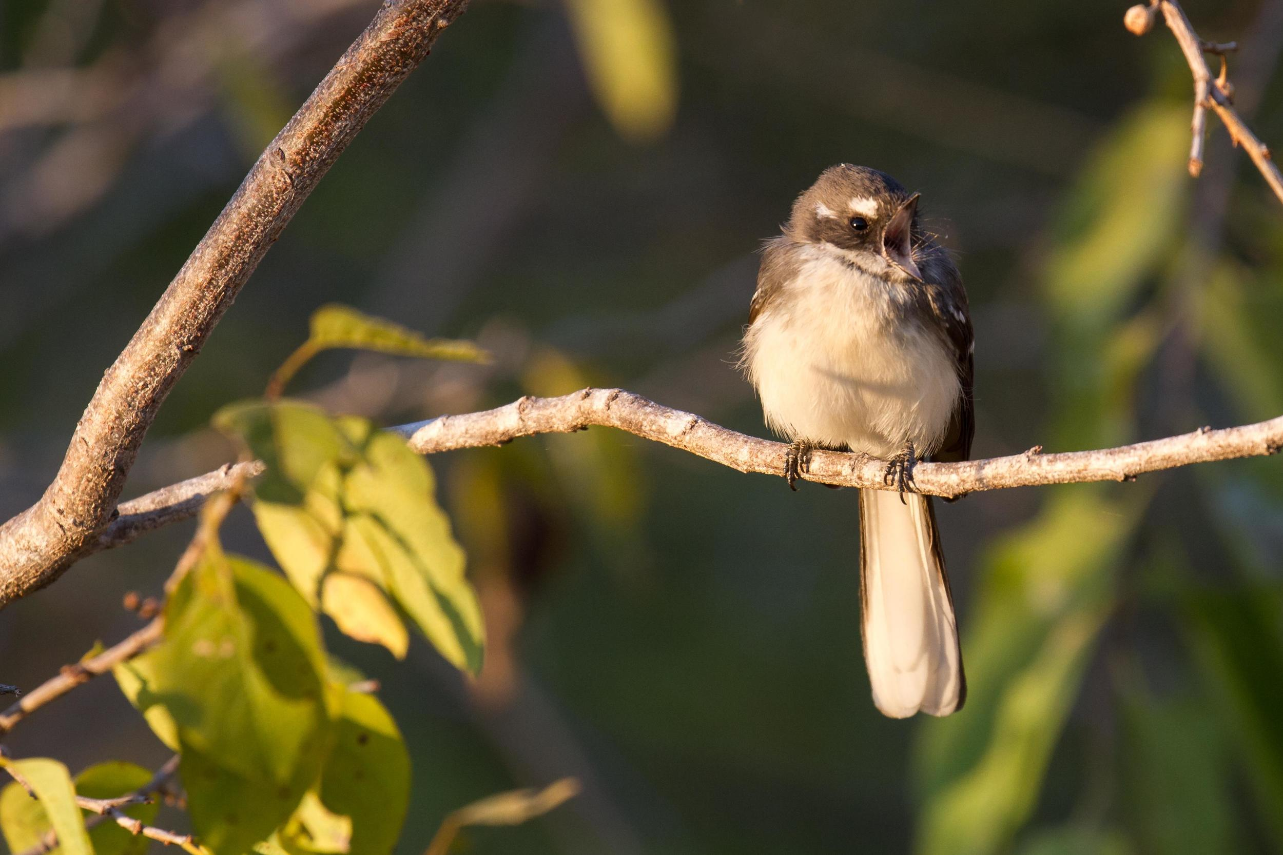 The  albicauda  Grey Fantail ('White-tailed Fantail') looks similar to our local Mangrove Grey Fantails, and could usually be found in their company, rather than that of the other Grey Fantails. Photo: Ric Else