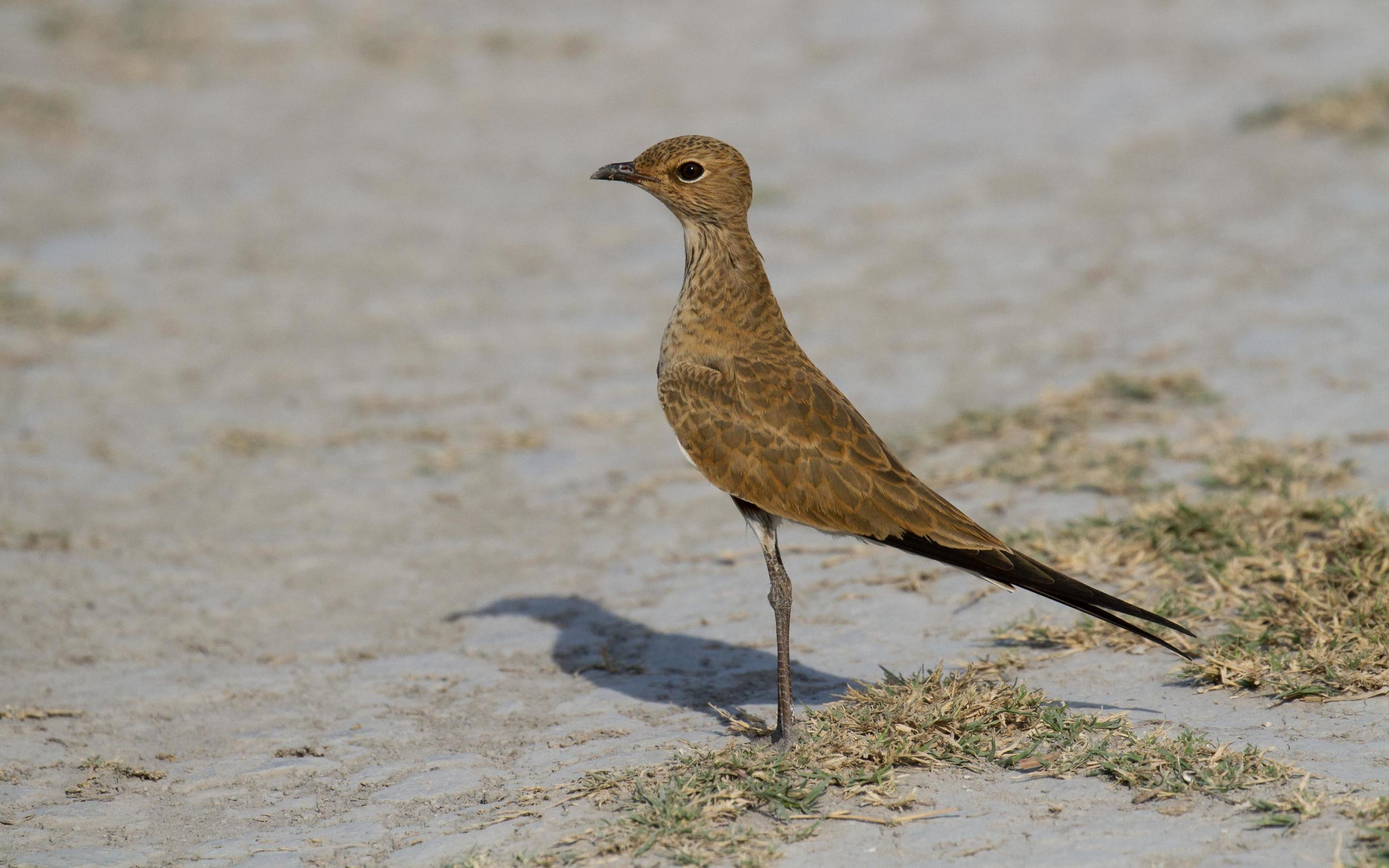 Just about every single one of the Australian Pratincoles on the plains was a juvenile. Photo: Ric Else