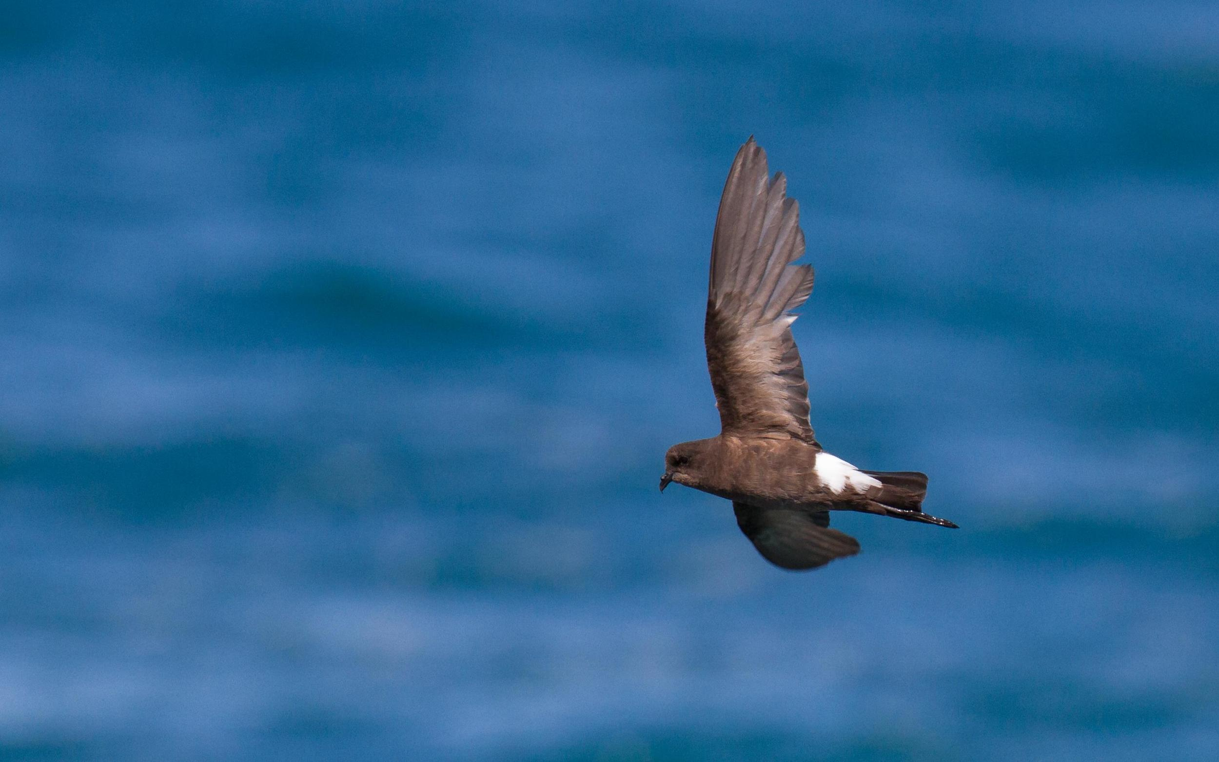 Wilson's Storm-Petrels are probably always present offshore, but rarely come close enough to see them from land. So many of them in Roebuck Bay, in perfectly calm weather, is hard to explain. Photo: Ric Else