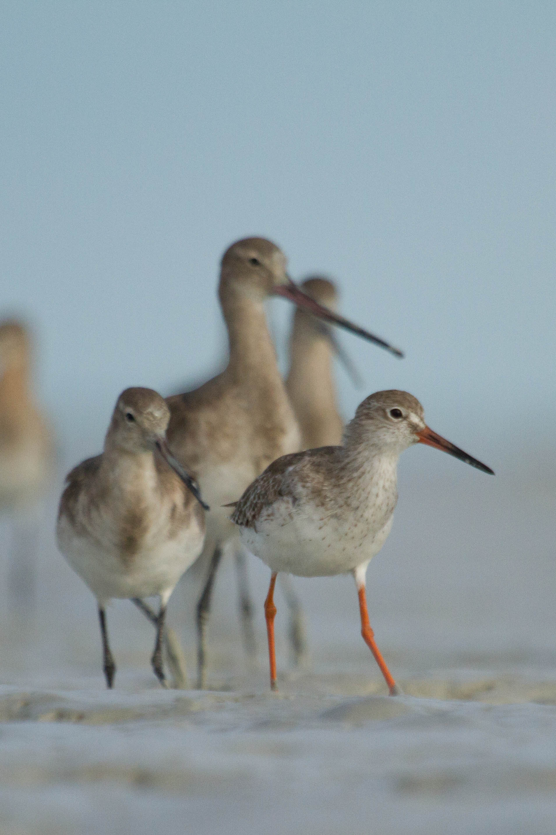 A first-year Common Redshank joins Black-tailed Godwits on the mud. Photo: Nigel Jackett