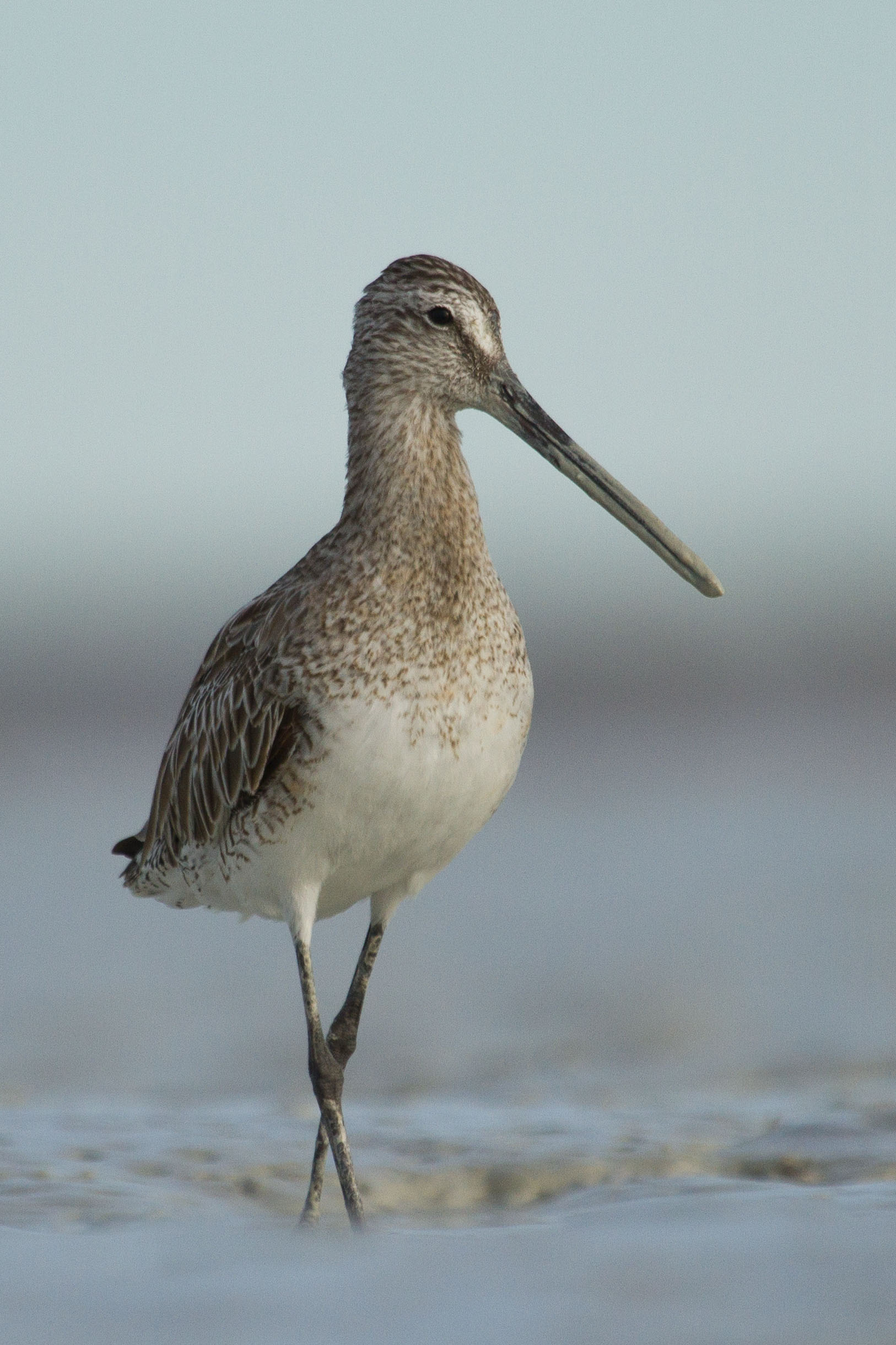 A stately, but muddy-billed Asian Dowitcher. Photo: Nigel Jackett