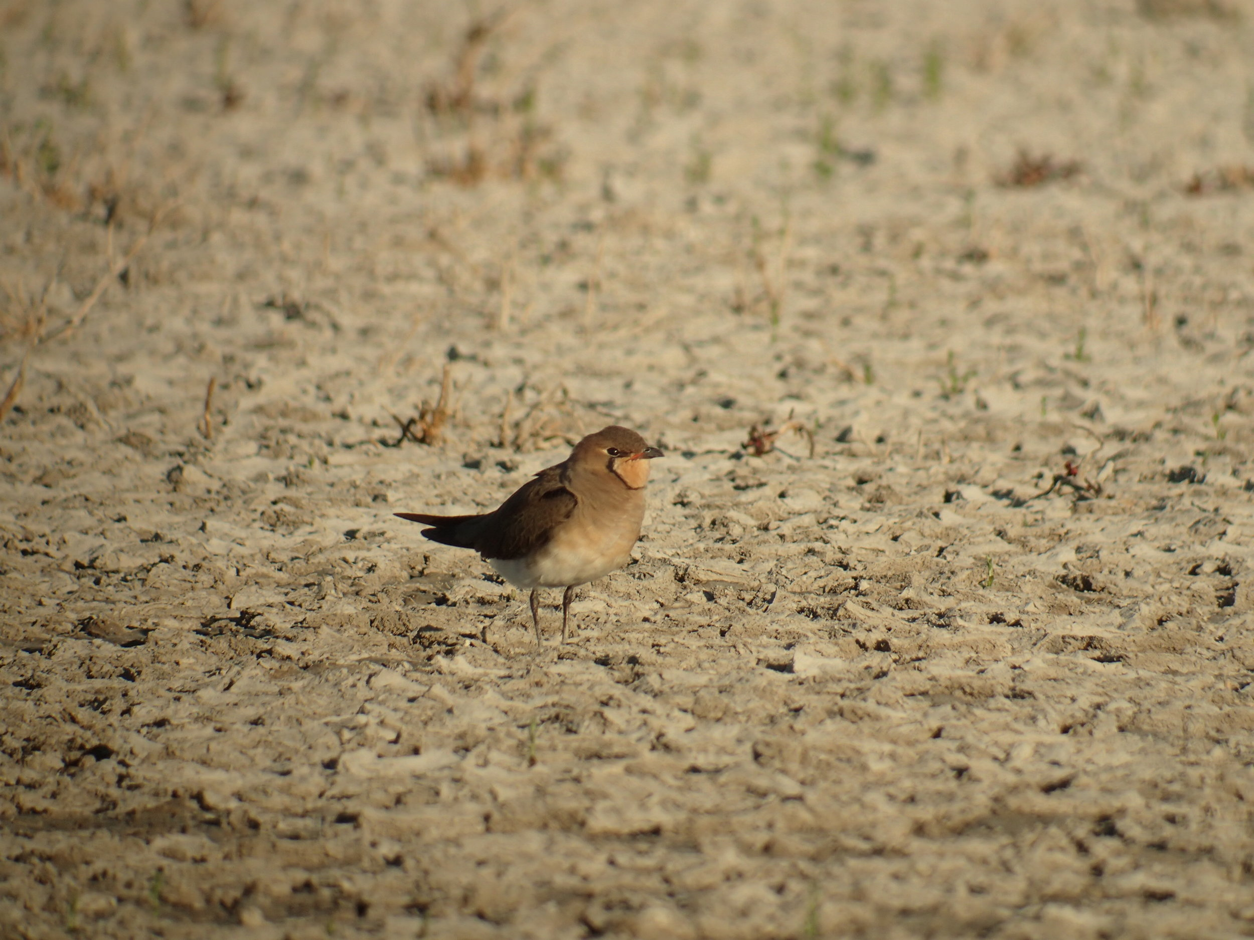 Rarely seen during the dry season - Oriental Pratincoles at Kidney Bean (Photo: Emilia Lai) and Roebuck Plains (east of Hwy) (Photo: Jim Attard)