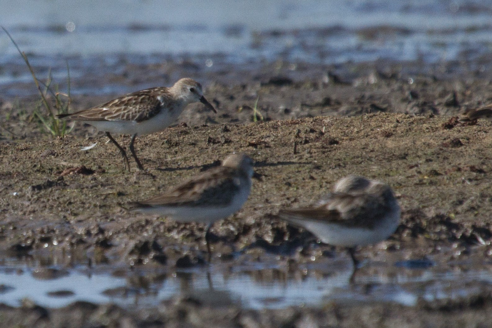 Little Stint (rear) with two Red-necked Stints in foreground at Lake Eda. Photo: Nigel Jackett